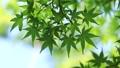 新鮮的綠色生態圖像(槭樹的年輕葉子) 76982702