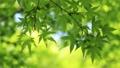 新鮮的綠色生態圖像(槭樹的年輕葉子) 76982703