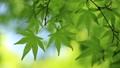 新鮮的綠色生態圖像(槭樹的年輕葉子) 76982704