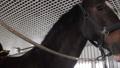 Girl preparing horse for riding 76986683