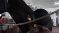 Girl preparing horse for riding 76986687