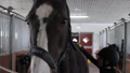 Girl preparing horse for riding 76986693