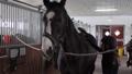 Girl preparing horse for riding 76986697