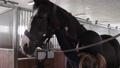 Girl preparing horse for riding 76986700