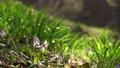 dogtooth, katakuri, flowers 77018978