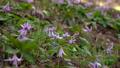 dogtooth, katakuri, flowers 77018979
