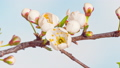 Time Lapse of flowering Cherry flowers 77072791