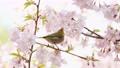Mejiro和Kawazu櫻桃樹 77079479