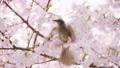 棕色耳朵和Kawazu櫻桃樹 77084777