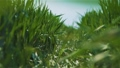 Beautiful barley crop seeds on plant growing on lush green field. Gorgeous juicy blades and verdant leaves slow motion 77099348