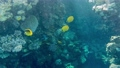 Coral reef in the red sea underwater colorful tropical fish Chaetodon fasciatus, Diagonal butterflyfish. POV snorkeling. Tropical colorful seascape. Underwater reef. Reef coral scene. Egypt. 77100758