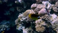 Coral reef in the red sea underwater colorful tropical fish. POV snorkeling. Tropical colorful seascape. Underwater reef. Reef coral scene. Egypt. Sharm El Sheikh. 77100775
