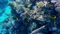 Coral reef in the red sea underwater colorful tropical fish Chaetodon fasciatus, Diagonal butterflyfish. POV snorkeling. Tropical colorful seascape. Underwater reef. Reef coral scene. Egypt. 77100780