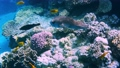 Coral reef in the red sea underwater colorful tropical fish Arothron stellatus, Starry toadfish. POV snorkeling. Tropical colorful seascape. Underwater reef. Reef coral scene. Egypt. 77100794