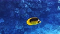 Coral reef in the red sea underwater colorful tropical fish Chaetodon fasciatus, Diagonal butterflyfish. POV snorkeling. Tropical colorful seascape. Underwater reef. Reef coral scene. Egypt. 77100797