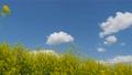 유채 꽃과 푸른 하늘과 77101704