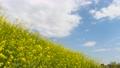 유채 꽃과 푸른 하늘과 77101705