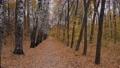 Walking through empty autumn park, coniferous forest: nobody - steadicam shot 77113209