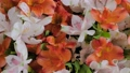 Bouquet of orange and white alstroemeria flowers on rotating surface: close up 77113228