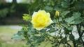 Yellow rose flower 77115300