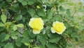 Yellow rose flower 77115301