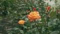 Orange rose flower 77115302