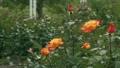 Orange rose flower 77115303