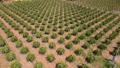 Aerial view of a field of pitahaya or so-called dragon fruits 77130139