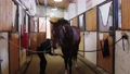 Equestrian - young woman brushing a brown horse in the stall 77135833