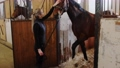 Equestrian - a woman takes a horse out of the paddock holding by leashes 77135834