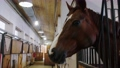 Equestrian - brown horse stands in the stall and turns the muzzle to the camera 77135835