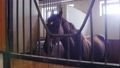 Equestrian - muzzle of dark horse - stands in the stall 77135853
