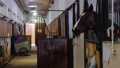 Equestrian - brown horse stands in the stall 77135857