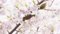 Mejiro和Kawazu櫻桃樹 77147824