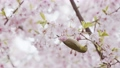 繡眼鳥 櫻花盛開 櫻桃樹 77147904