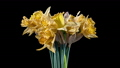 4K Time Lapse of flowering daffodil 77147963