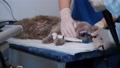 Veterinarian Doing Endoscopic Examining of a Cat 77158647