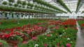 A greenhouse full of red and pink flowers. 77163489