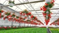 A greenhouse full of red and pink flowers. 77163492