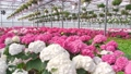 A greenhouse full of red and pink flowers. 77163494