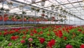 A greenhouse full of red and pink flowers. 77163495