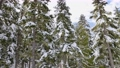Snowy Forest on top of the mountains in winter during Sunny Morning. 77172237