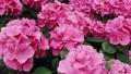 Purple Hydrangea flower in a garden 77184358