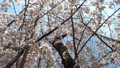cherry blossom, cherry tree, fake buyer 77204433