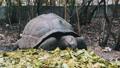 Feeding Huge Aldabra Giant Tortoise Green Leaves in Reserve, Zanzibar, Africa 77211051