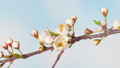 Time Lapse of flowering Cherry flowers 77212396