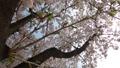 cherry blossom, cherry tree, fake buyer 77216002
