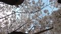 cherry blossom, cherry tree, bloom 77216134