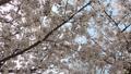 cherry blossom, cherry tree, bloom 77216157