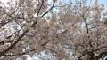 cherry blossom, cherry tree, bloom 77216170